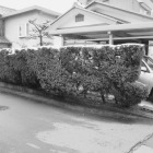 施工前。植木が道路側(南側)に傾きだしたのと、手入れの事も考えて。